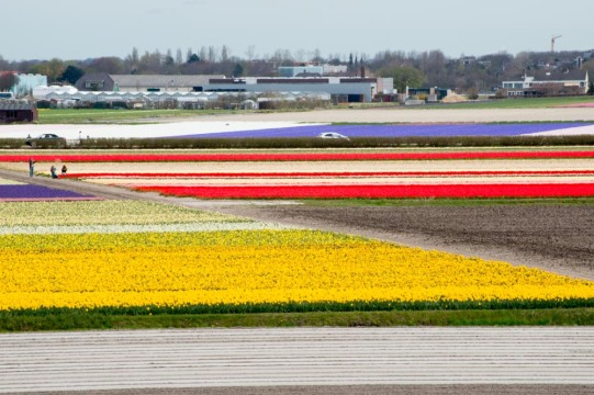 Flower Field, Netherland