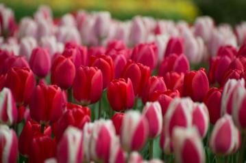 Tulips... Netherland