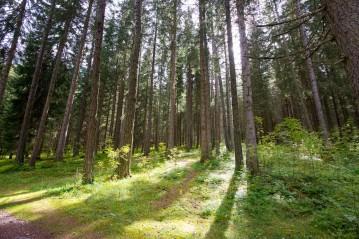 Anterselva, trees