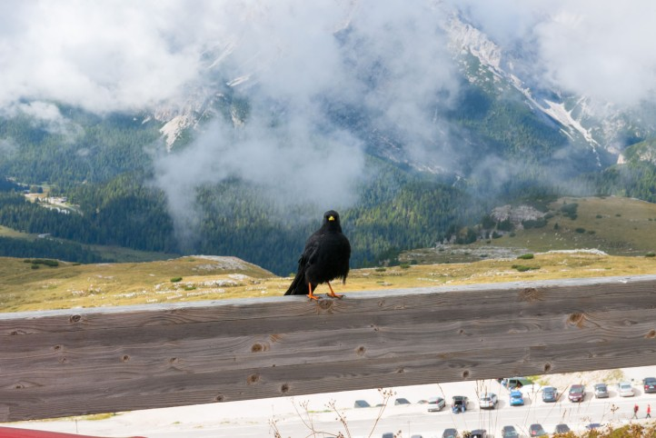 A crow in the Lavaredo Natural Park